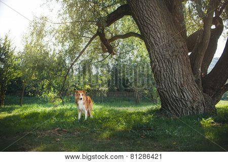 Red Border Collie Dog Walking In Backyard