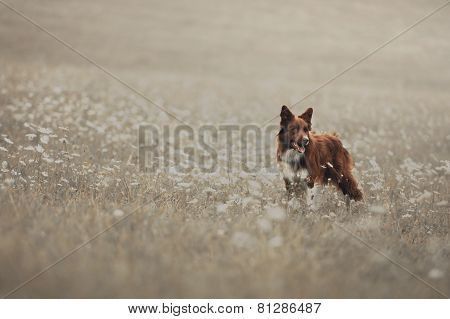 Red Border Collie Dog In A Meadow
