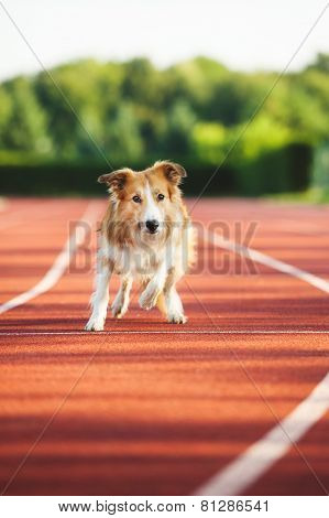 Dog Running At Sport Stadium