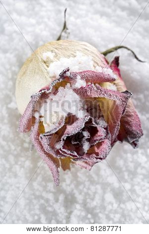 Frosted fallen rose