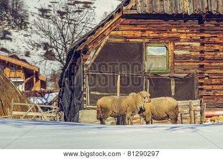 Old Wooden Cottage And Sheep