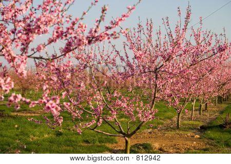 Field of Blooming Peach Flowers