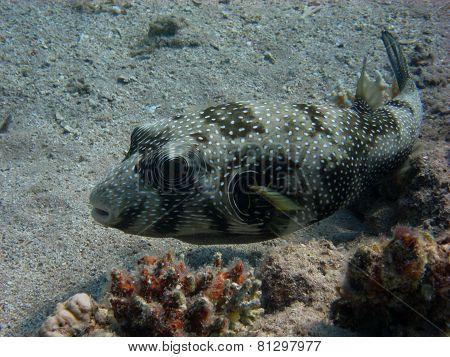 white spots pufferfish swims