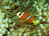 stock photo of clown fish  - The surprising underwater world of the Bali basin - JPG