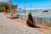 picture of sea lion  - sea lion in esplanade in san cristobal  with ocean on background galapagos islands ecuador - JPG
