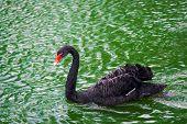 pic of black swan  - single black swan swimming in the lake - JPG