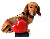 image of dachshund  - Dachshund puppy with her paw on a red valentine heart - JPG