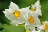 foto of solanum tuberosum  - beauty of white flowers of potato close up - JPG