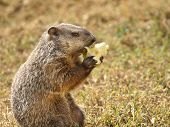 pic of groundhog  - Personified common groundhog holding and eating an apple - JPG