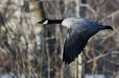 foto of snow goose  - Canada Goose Flying Over a Winter River - JPG