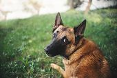 stock photo of belgian shepherd  - Cute Belgian Shepherd Dog portrait in summer - JPG