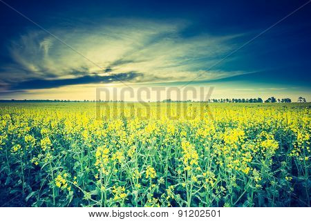 Vintage Photo Of Blooming Rapeseed Field At Sunrise