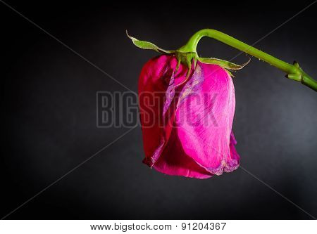 Abstract Dying Rose