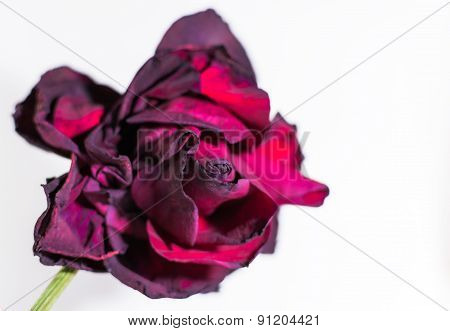 Single Dying Red Rose