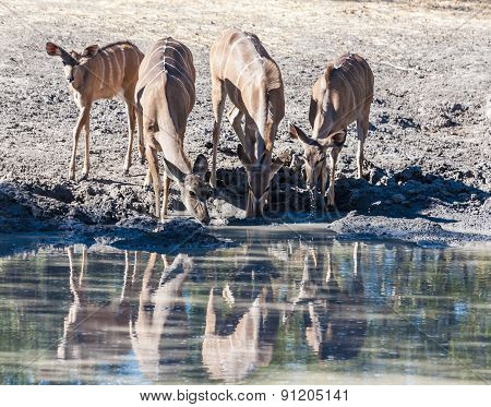 A Group Of Antelopes Drinking