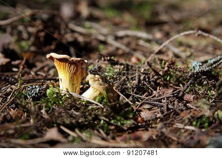 time for appetizing chanterelle