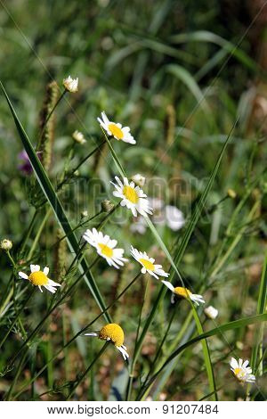 Forest medical daisies