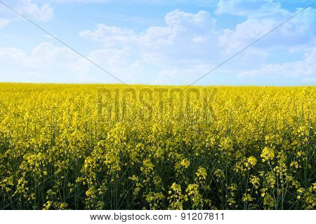 Yellow Field With Blue Sky