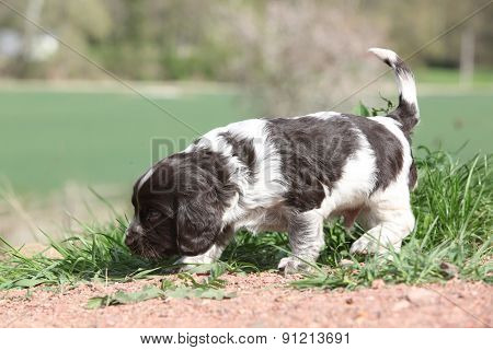 Amazing German Quail Dog Moving In The Garden