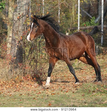 Brown Arabian Stallion Running In Paddock