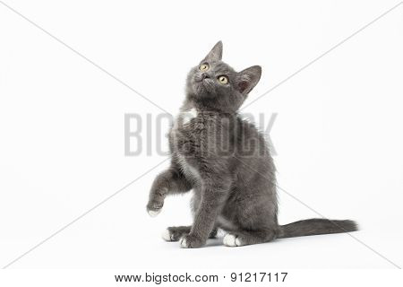 Playful Gray Kitty On White Background