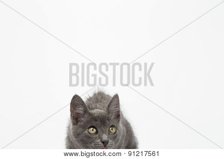 Gray Kitty Crouched On White And Looking Up