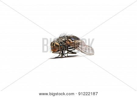 Macro Shot Of A Housefly.