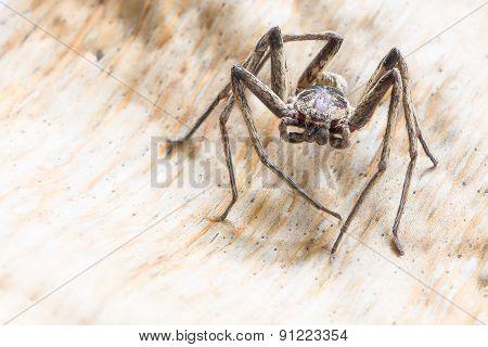 Brown spider , Heteropoda venatoria