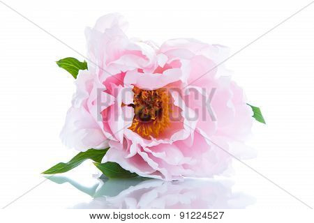 Beautiful Blooming Peony