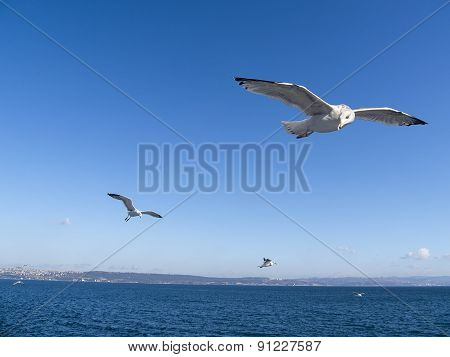Bird  With Forage Fish Flying Over The Ocean
