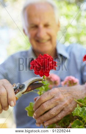 Elderly man pruning geraniums