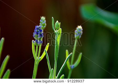 Lavender Flowers Growing