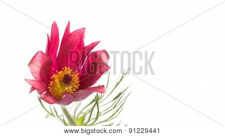 Red And Pink Flower Pulsatilla Patens