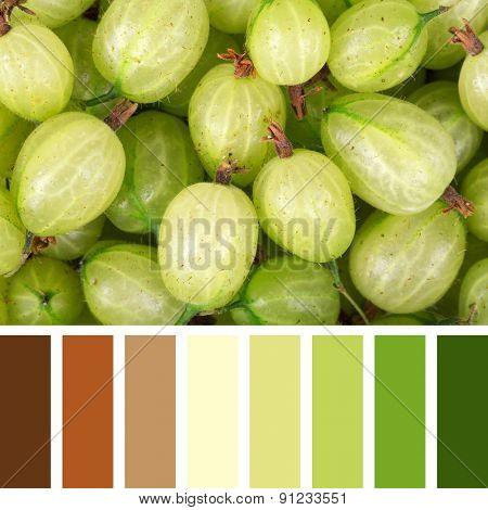 A background of fresh, ripe gooseberries, in a colour palette with complimentary colour swatches.