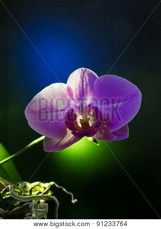 Orchid Flower On Black Background