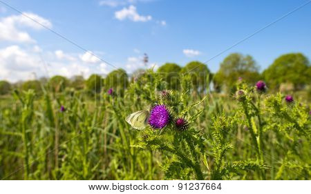 Butterfly feeding nectar on the flower of a thistle