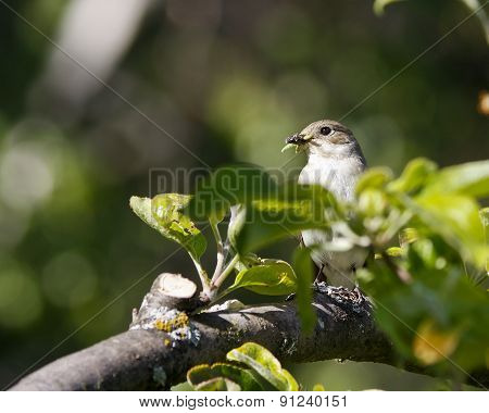 A female flycatcher sits on a twig.