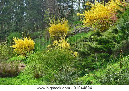 Flowering Shrubs, Golden Rain, South Bohemia