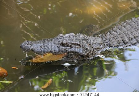 Adult Dangerous Crocodile