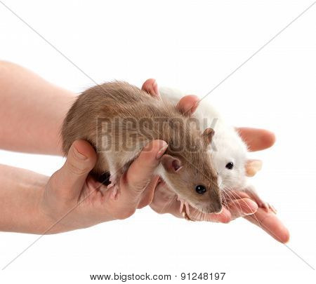 Brown And White Rats In Hands
