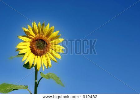 Beautiful Sunflower