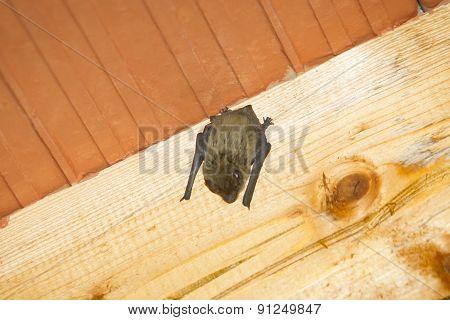 Bat On Wooden Beam