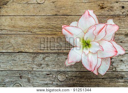 Beautiful amaryllis flower on wooden background