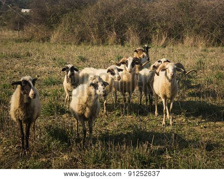 Flock Of Sheep, Skiros, Cyclades, Greece