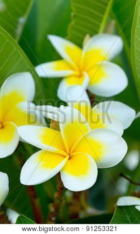 white plumeria flowers closeup