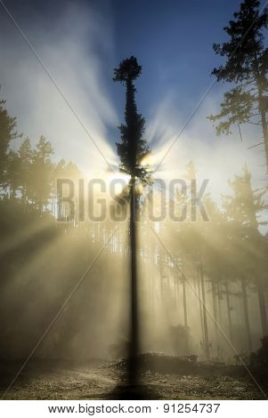 Single, back lit tree and fog in forestry area, New Zealand