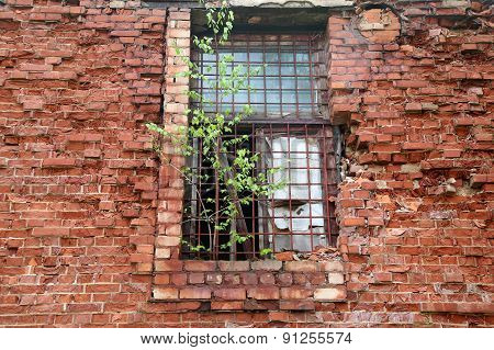 Abandoned Building From Red Brick: On Window  Grow Birch