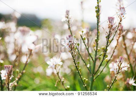 White Wild Flowers. Gozo Island, Malta.