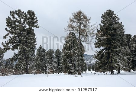 winter forest, Altai mountains