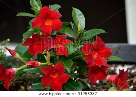 Red Mandevilla Growing In Flower Pot